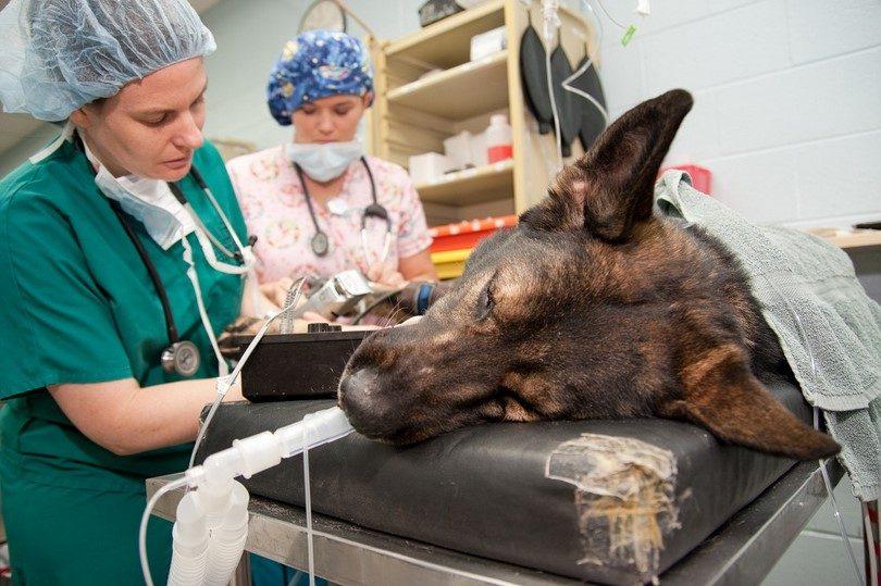 Manejo de la hipotermia en pacientes anestesiados pet industry gato perro  veterinaria colombia 2 monitoreo - Pet Industry